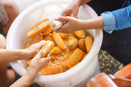 Worker Womans hands holding a corn cob and separating the grains to a seed for feeding animal