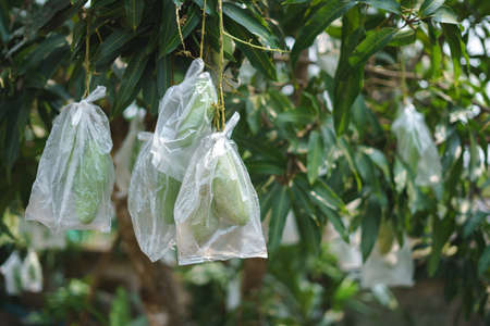 Unripe mango wrapped in plastic bag for preventing insect and weather hazard 版權商用圖片
