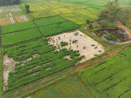 Flooded paddy field with damaged rice plant with white great egret bird as sustainable agriculture in Asian countryside 版權商用圖片