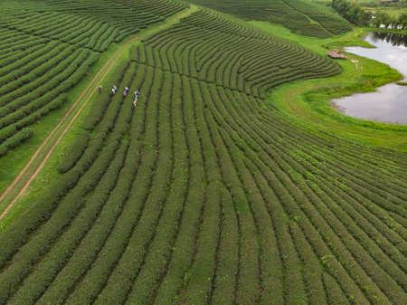 Worker picking up fresh green leave over beautiful tea plantation in Asian country, Chiangrai Thailand