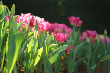 Colorful tulips in flower garden