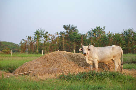 Common cow eating rice straw from pile of hay in the field of Asian country