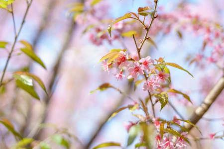 Blooming Wild Himalayan Cherry (Prunus cerasoides) or pink sakura in Thailand