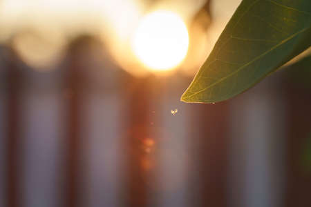 Flying bugs or pest around sweet bay tree leaf with sunset