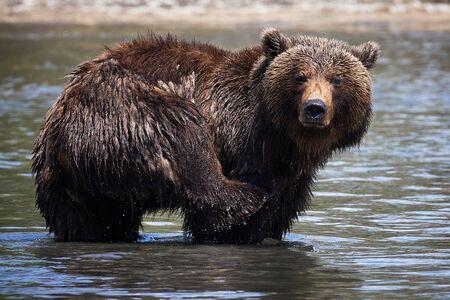 Swimming in the lake Kamchatka brown bear in wildlife