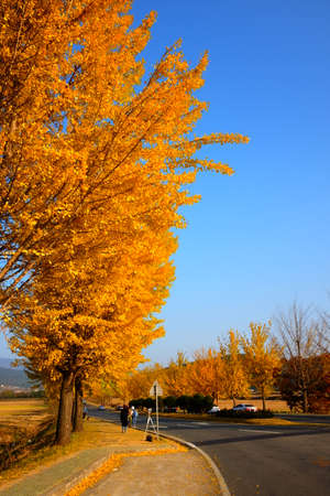Autumn leaves, Ginkgo