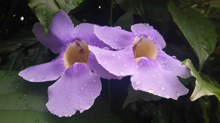 two lilac flowers of bindweed Imagens