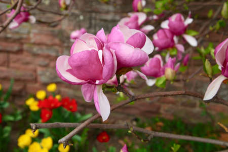 floristics: A pair of magnolia flower on a branch growing near the stone wall above the flowerbed in city garden
