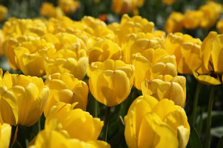 floristics: Lots of bright yellow tulips in the garden in the sun Stock Photo