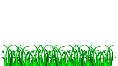 sedge: Vector green grass on white background