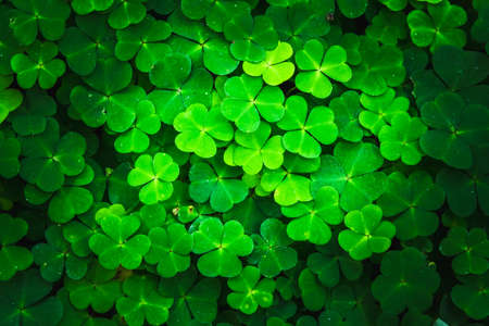 Bright green clover leaves. Textures and backgrounds for designers