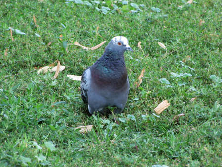 Pigeon on the grass Stock Photo - 17973191