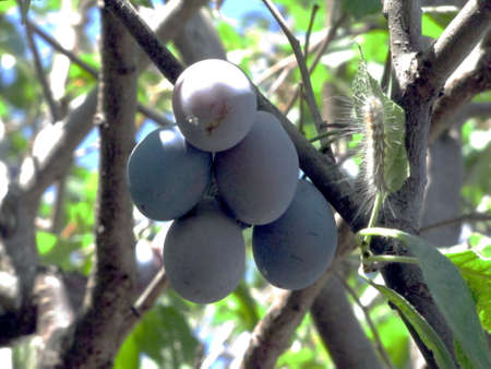 Photo of a plum fruits on a tree