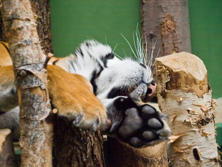 praha: Sleeping tiger in Praha zoological gardens Stock Photo