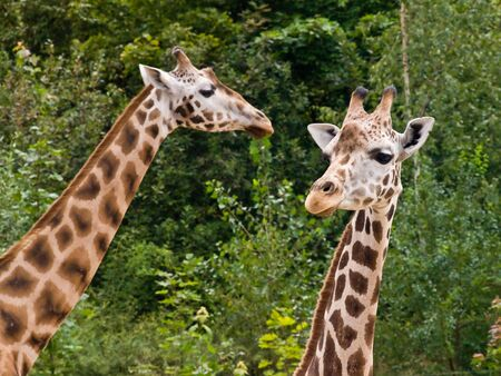 praha: Two giraffes in small savanna in Praha zoo Stock Photo