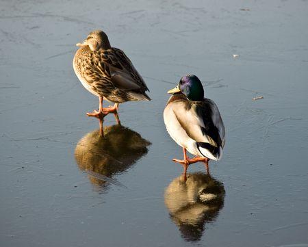 drake: Drake and duck on lake ice Stock Photo