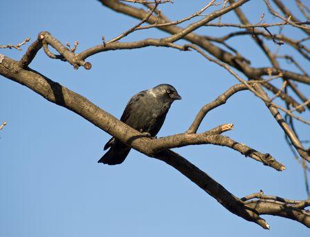 Black rook photo