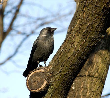 Black rook on a tree photo
