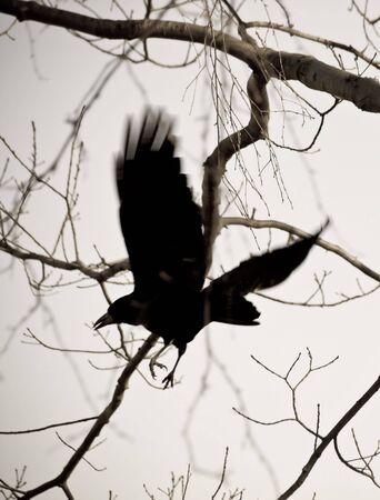beldam: Magical corvo Archivio Fotografico