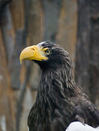 Big eagle with yellow beak in Prague zoo photo
