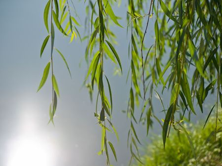 Weeping willow over the water Standard-Bild