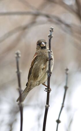 fidgety: Sparrow on the branch Stock Photo