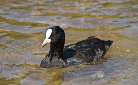 Swimming small swan photo