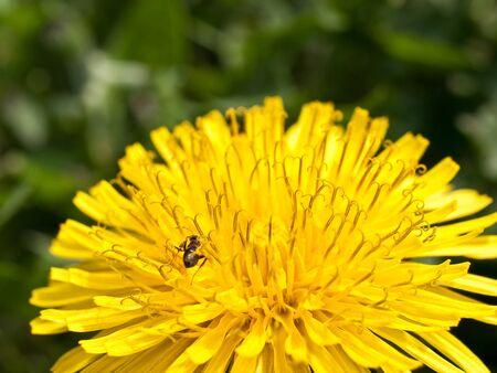 Yellow dandelion on the sun photo