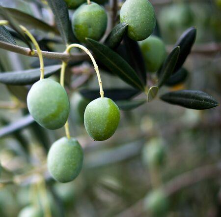 Olive tree on fruit farm in Croatia photo