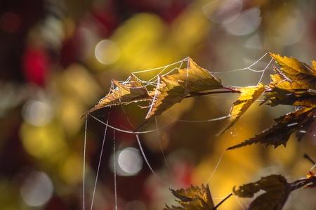 spider net: Spider net on autumnal plants. Garden in november.