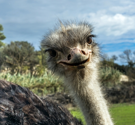 Head of ostrich in zoo. Sigean, France.