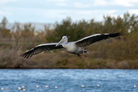 pelikan: White pelican on the lake in Sigean zoo Stock Photo