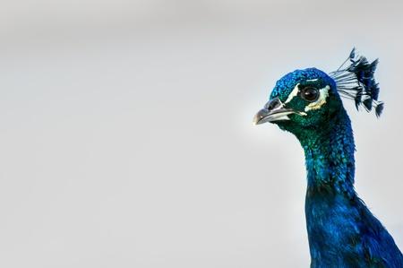 peacock wheel: Bella pavone colorato su sfondo bianco. Sigean zoo. Archivio Fotografico