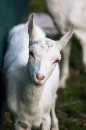 yeanling: Little white nany-goat on small farm in Slovakia