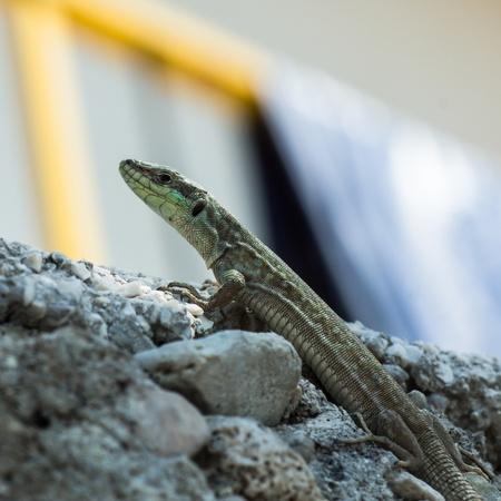 lacerta viridis: A huge european green lizard (Lacerta viridis) Croatia