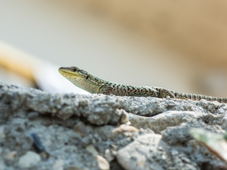 A huge european green lizard (Lacerta viridis) Croatia photo