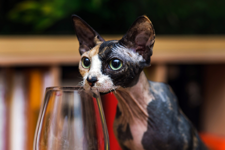 Sphinx cat interesting in glass of red wine photo