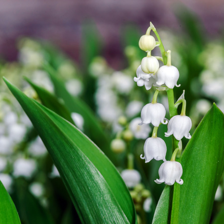 Beautiful muguet on the spring sun, macro view