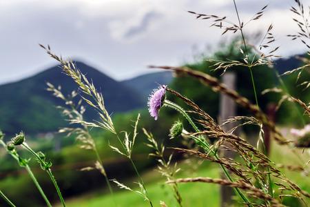 champ de fleurs: Champ de fleurs et des c�nes, summe coucher du soleil, Alsace