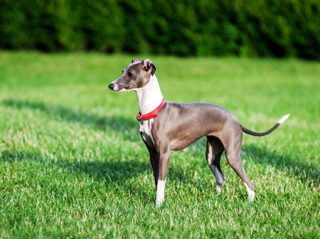 Italian Greyhound playing in countryside park, Poland