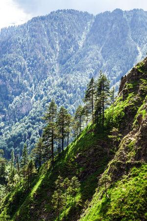 Rear pinetrees in high mountains, Shtiria, austrian Alps Stock Photo