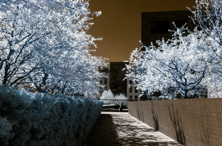 ir: Cherry tree blossom, flowers and sun, infrared, spring