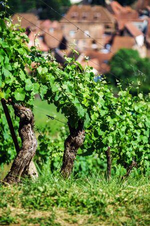 vinery: Green vineyards of Alsace, France. Summer time.