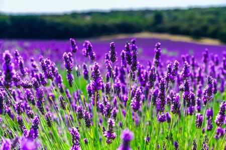 Piękne fioletowe pola lawendy w Prowansji, Francja Zdjęcie Seryjne