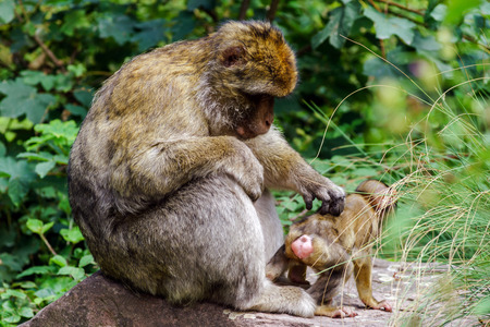 kiddy: Macaco monkey baby in the natural forest, animal in nature