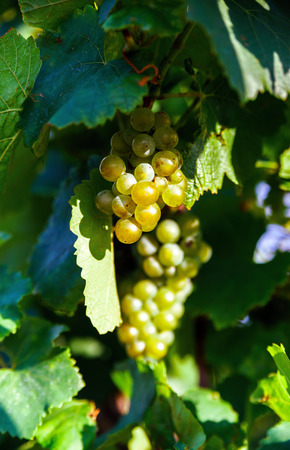 pinot noir: Wine grapes vineyard at sunset, autumn in France, natural concept Stock Photo