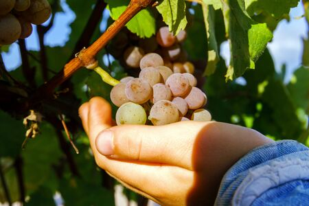 viñedo: Uvas viñedo vino al atardecer, otoño en Francia, el concepto naturales
