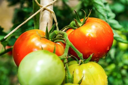 crecimiento planta: tomates hermosas en el jardín de verano, concepto naturales