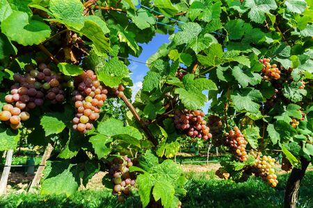 Gewurztraminer grape bunches on the sun, Alsace, vendange time, France Standard-Bild