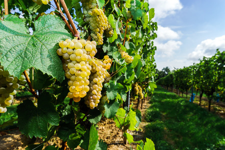 Muscat grape bunch on the sun, vine harvest, France